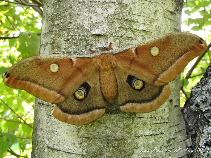 Antheraea polyphemus femelle (11F5Automne, s2.jpg