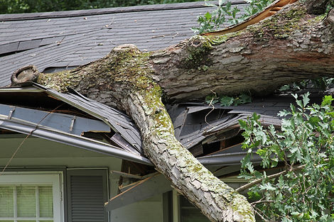 A storm causes a white oak tree to fall