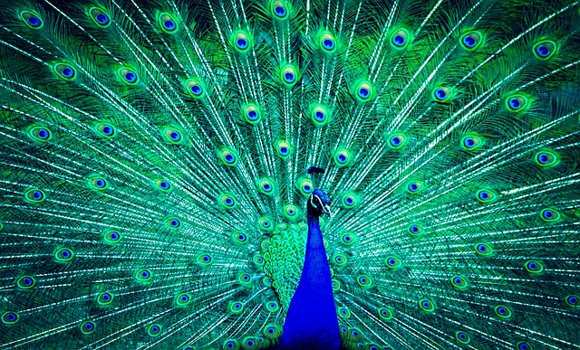 peacock-2115823_640