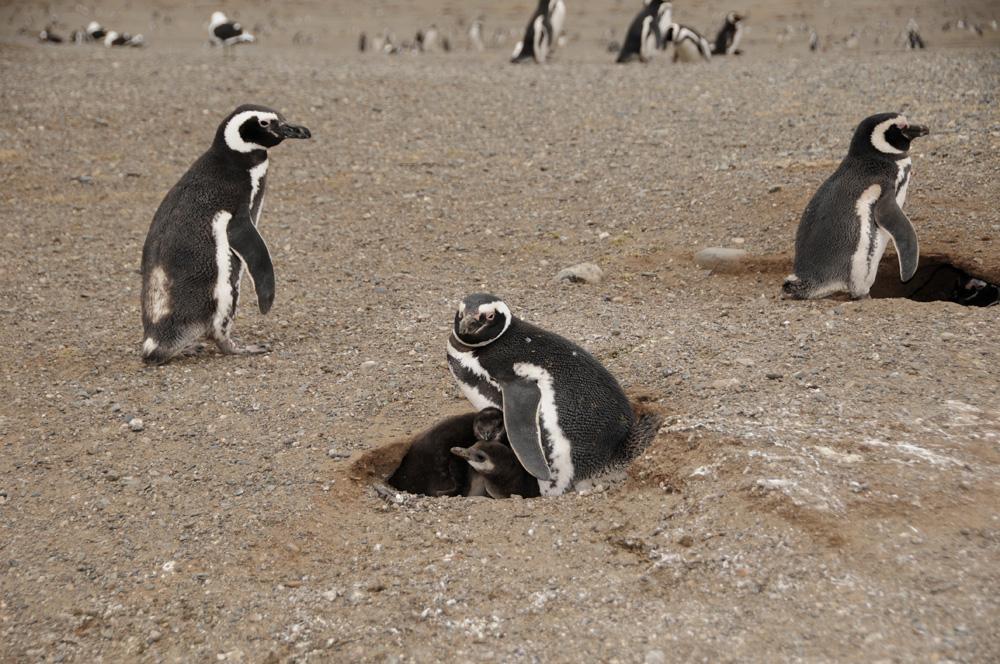 Pinguine 4