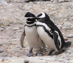 Pinguine 1