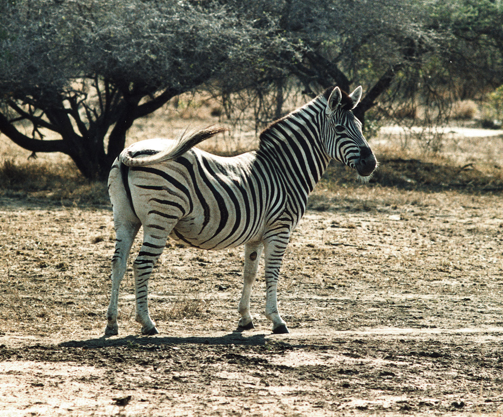 Zebra 2-