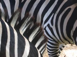 Zebra 1-_1