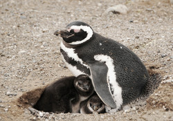 Pinguine 5