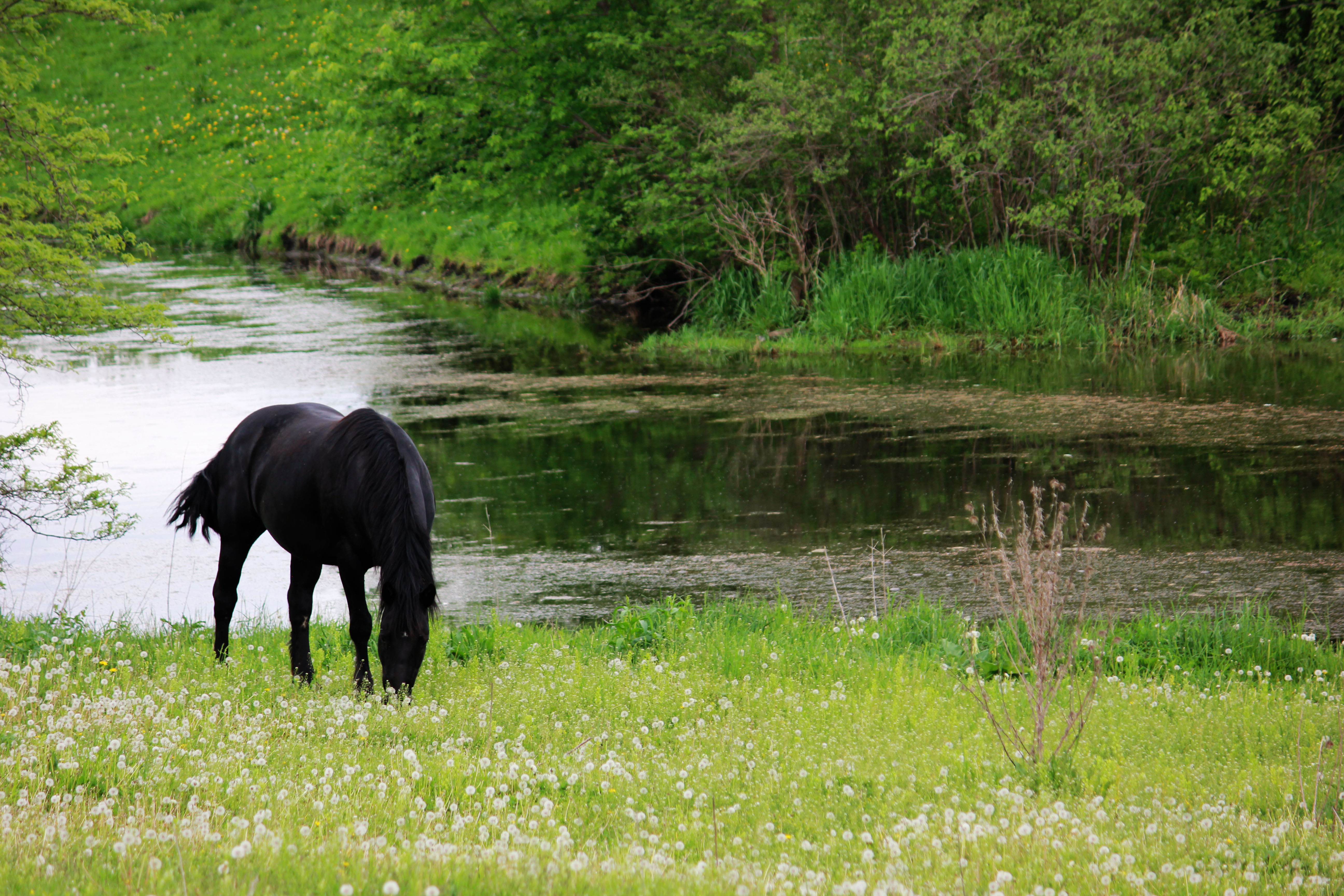 Black Horse Grazing