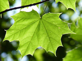 maple-leaf-888807.jpg