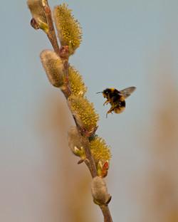 Flight of the bumblebee (1 of 1)