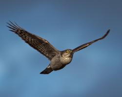 Sparrowhawk print (1 of 1)