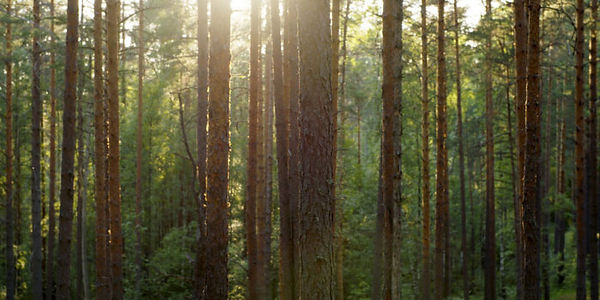 Furu-skog-700x350.jpg