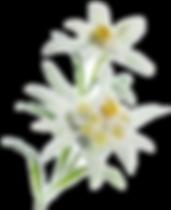 Edelweiss%20flower%20cutout_edited.png