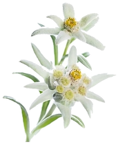 Edelweiss%20flower%20cutout_edited.png