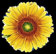 sunflower art.png