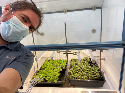 Getting some plants ready to getting sprayed with formulations prepared by the ADAMA fellows