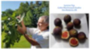 summer-figs-s.jpg