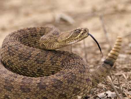 What to do if a rattlesnake bites?