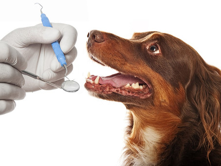 Why does a pet dental cleaning cost more than human?