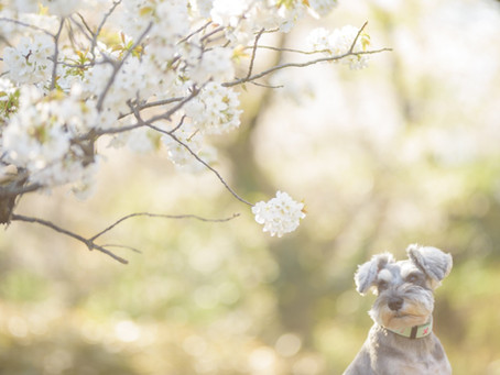 【Mu*Runa photographs 〜幻の桜撮影会〜】