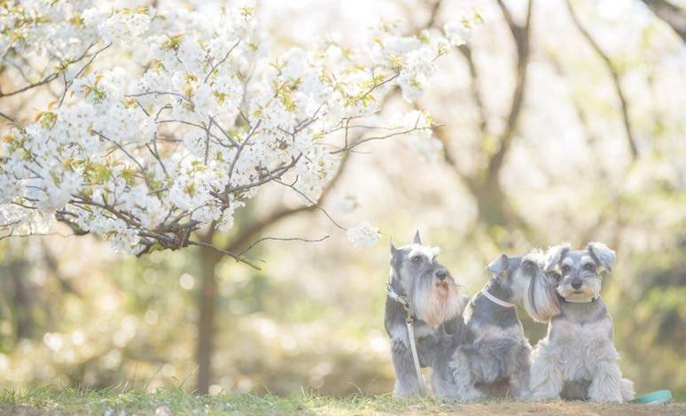 幻の桜撮影会
