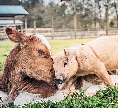 Welp, my heart just exploded. Cows and p