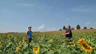 Sunflower Field Pepper