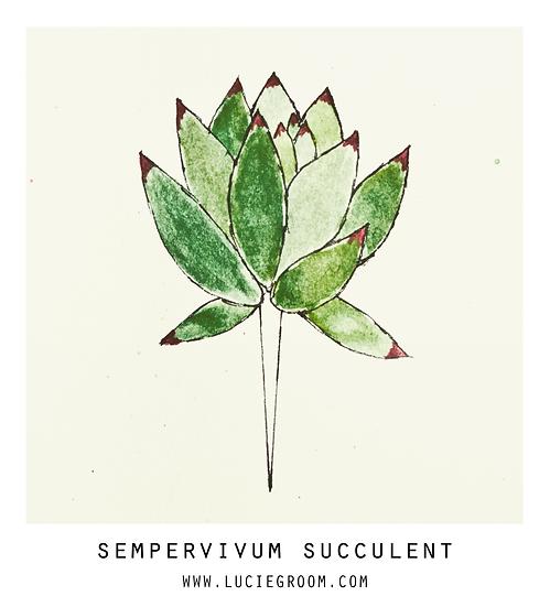 Sempervivum Succulent Green