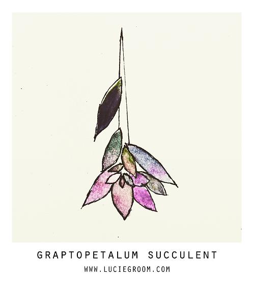 Graptopetalum Succulent Purple