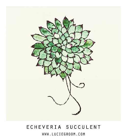 Echeveria Succulent