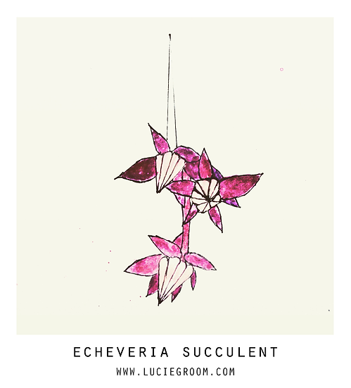 Echeveria Succulent Pink