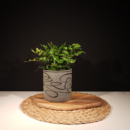 Potted Button Fern