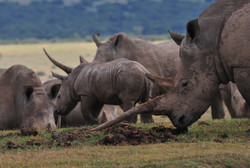 Seeing rhinos with horns in sanctuary settings has become rare