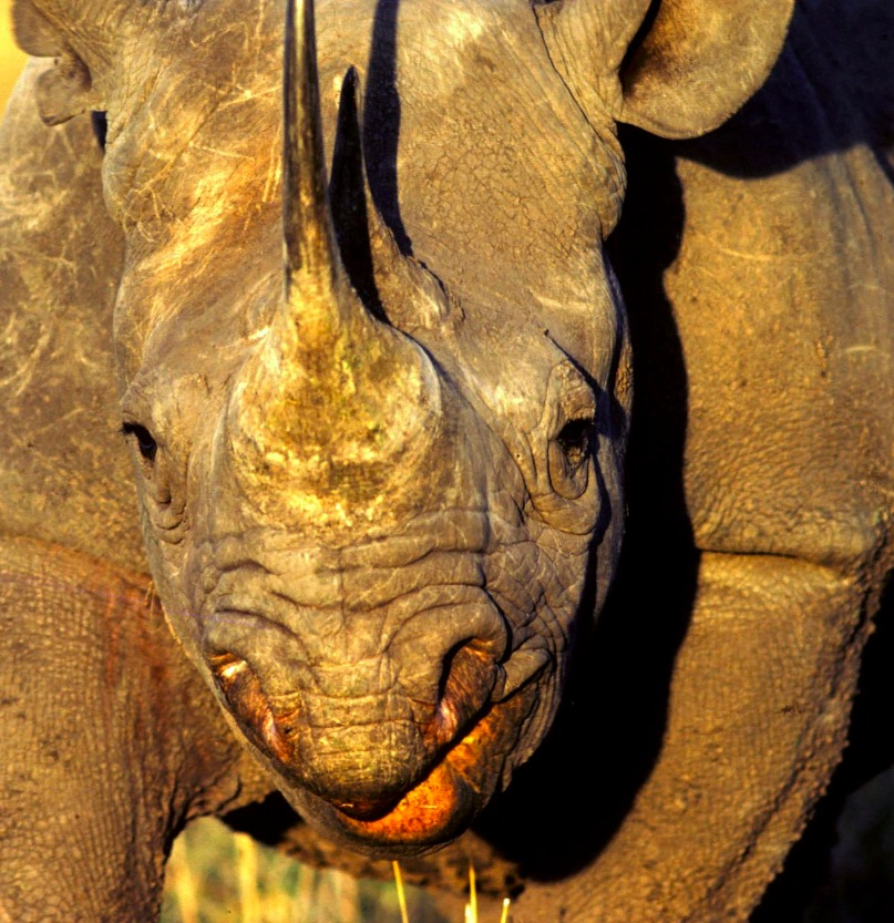 Black Rhino charging