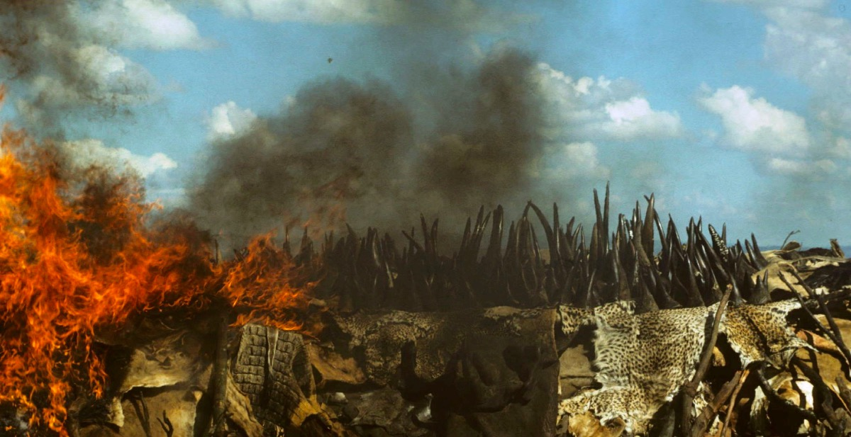The burning of rhino horn in Kenya