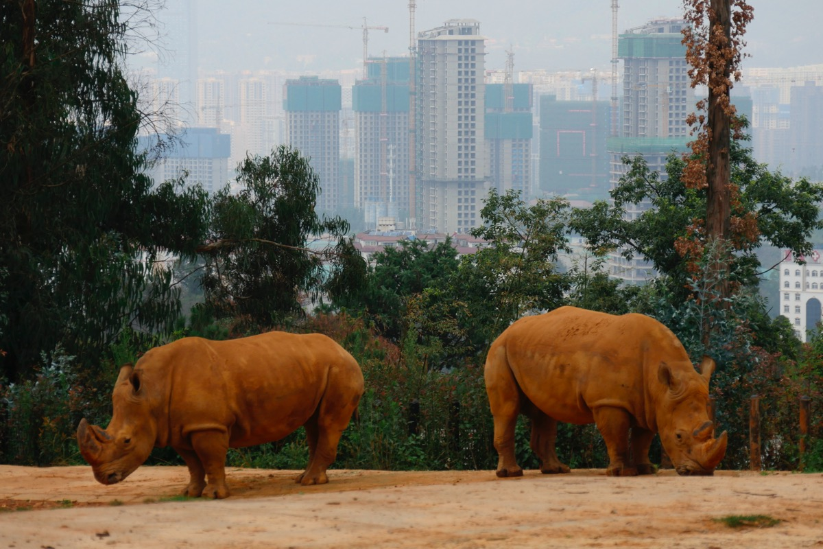 Two imported white rhino at a Kunming wildlife park