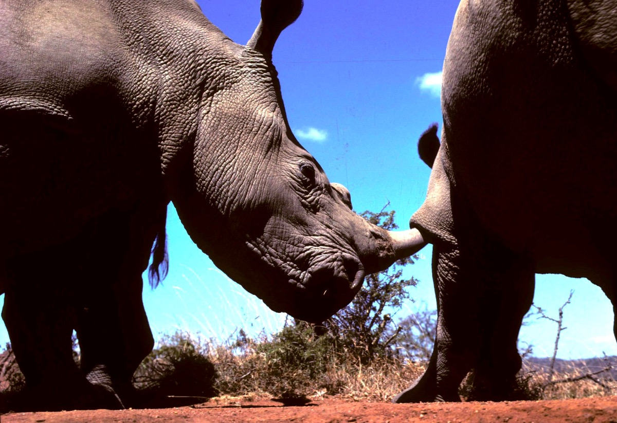 Two white rhino interacting on Laikipia Kenya