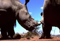 Two white rhino interacting on Laikipia Kenya