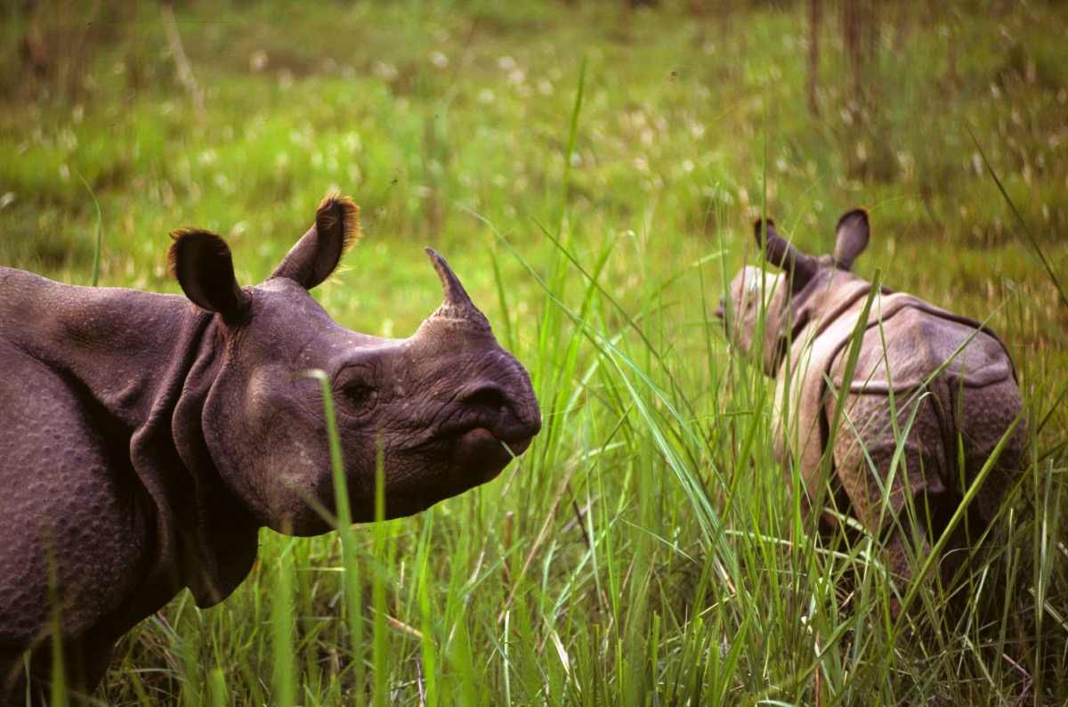 Asian rhino horn is more valuable bu