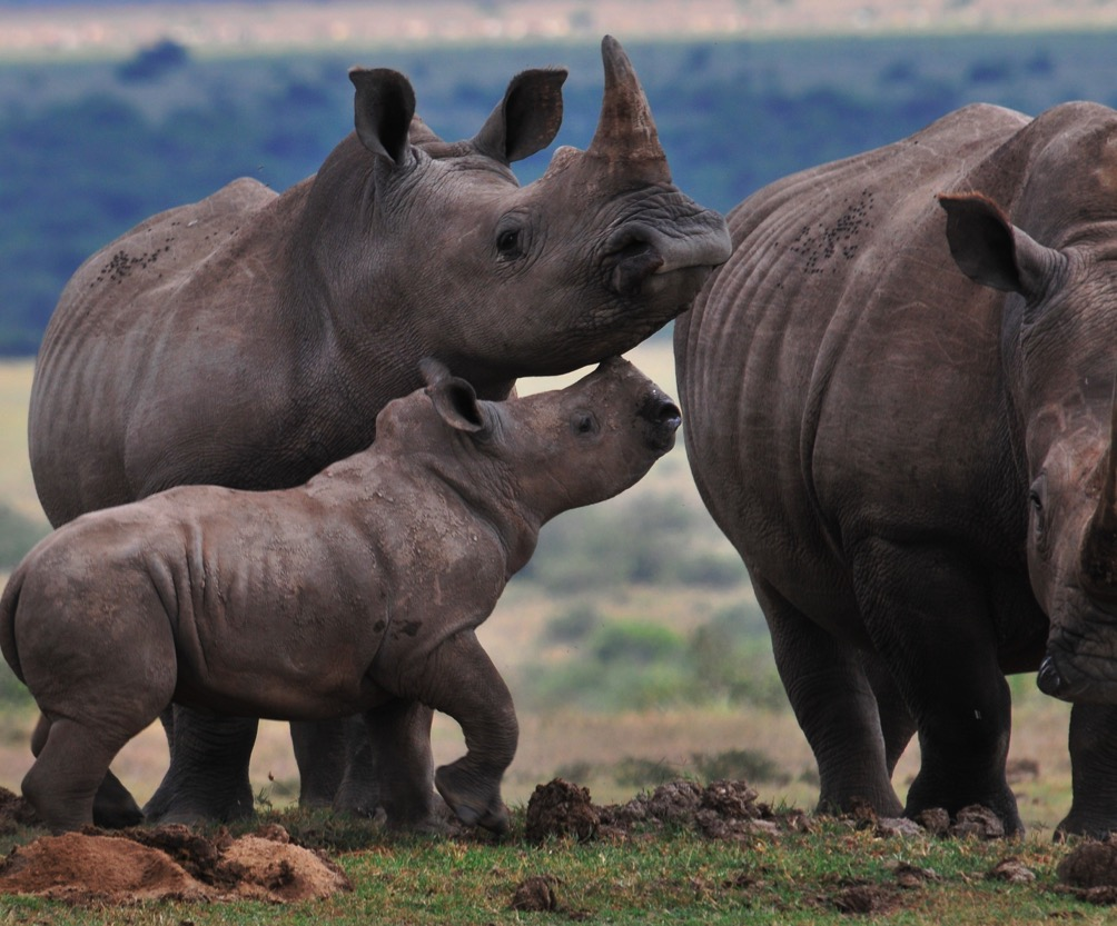 white rhinos interacting