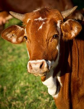 Nos bovins à exporter