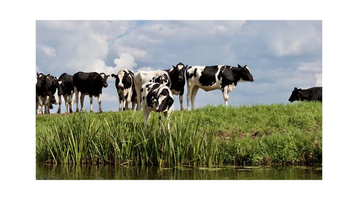 Pregnant heifers from LIVESTOCK BOVIN EUROPE