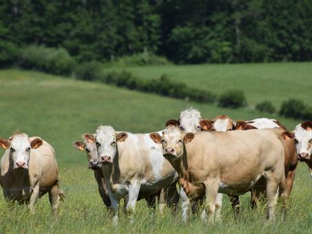 L'élevage de Bovins en France