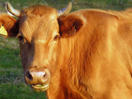 Pour une viande bovine de qualité