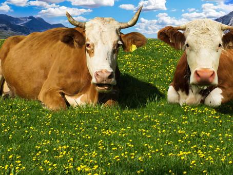LIVESTOCK BOVIN EUROPE exportateur de femelles Montbéliardes : deuxième race laitière de France