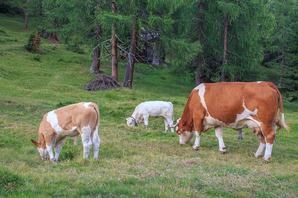 Les bovins de LIVESTOCK BOVIN EUROPE