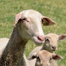 Une production laitière à la hausse en 2020 pour les petits ruminants : chèvres et brebis