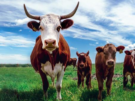 Les principales races de vaches en France