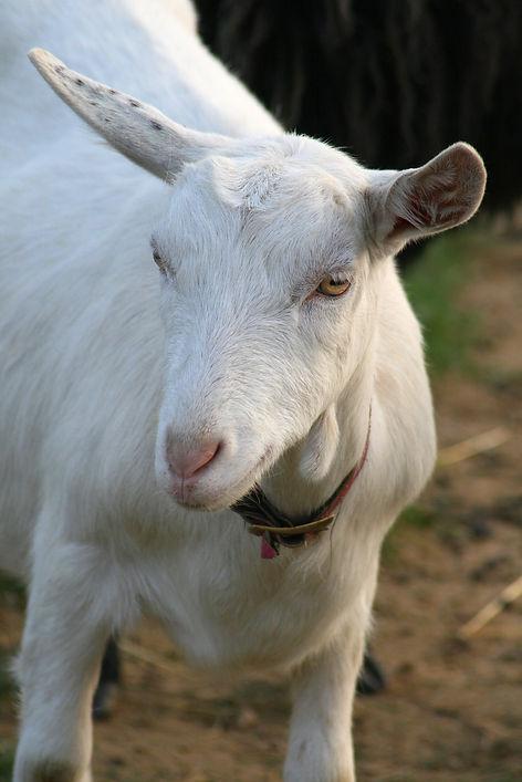 la chèvre Saanen