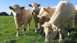 Une alimentation adaptée aux besoins des bovins