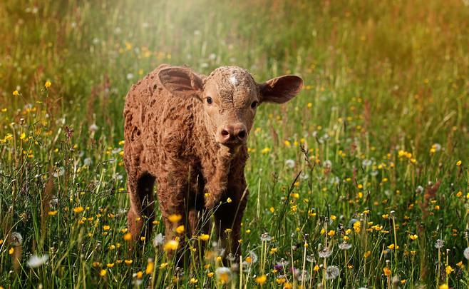 Montbéliard weaned calves from LIVESTOCK BOVIN EUROPE