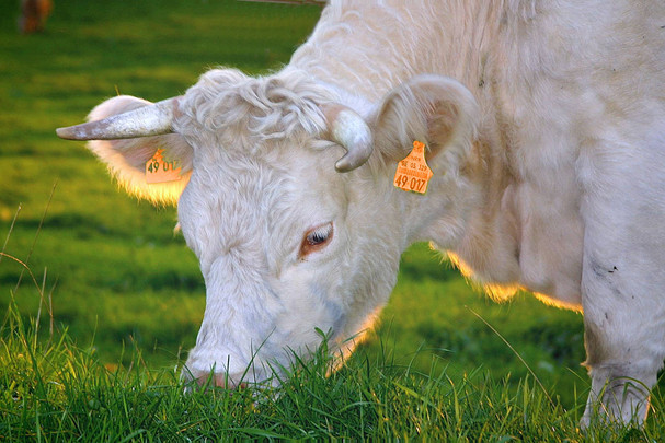 Charolais Claves from LIVESTOCK BOVIN EUROPE