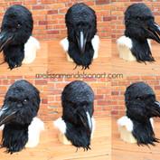 Hooded crow turnaroud small.jpg